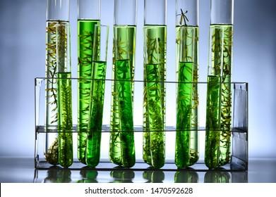 algae biofuel tube in biotech laboratory, Photobioreactor in lab algae fuel biofuel industry