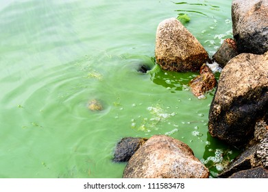 Algae bloom in the Baltic sea. A green soup of algae covers the sea surface. Stones from the beach with water swirling by.