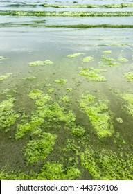 algae bloom on the beach in Thailand