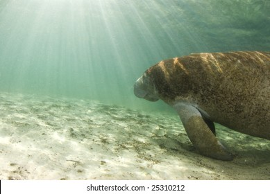 An algae covered Manatee (Trichechus manatus latirostrus) swims towards the shining sun in the springs of Crystal River, Florida