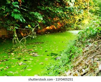 Algae in stream