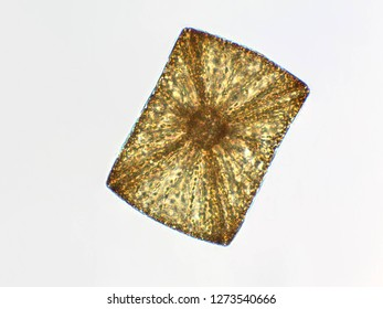 Algae under microscopic view