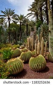 Alicante. Spain. 05.02.11. Cactus in the Botanical Gardens of El Huerto del Cura in Elche near Alicante in Spain.