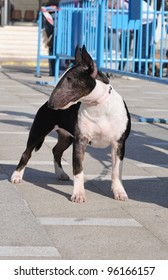 ALICANTE, SPAIN - FEB 26: Purebred Bull Terrier at the Sociedad Canina de Alicante dog competition on the grounds of the Cultural Center in Sant Joan D'Alacant Alicante. Feb 26, 2012