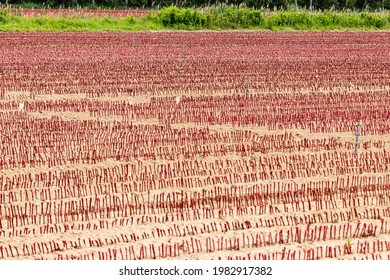 alignment of vines in a nursery in Provence