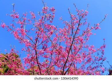 Alishan sakura cherry blossom, Yoshino cherry trees at Alishan Forest Recreation Area, Chiayi, Taiwan.
