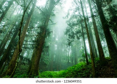 Alishan, Taiwan 22 Oct 2018.  The mist in Thousand years old cypress forest.