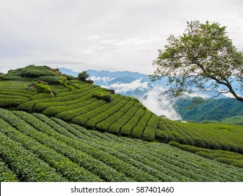 Alishan tea on Taiwan, in the mist of the morning.