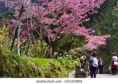ALISHAN,TAIWAN-13 MAR 2017:Cherry blossom at Alishan National Scenic Area,Taiwan