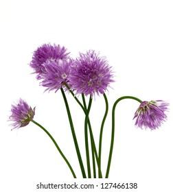 alium flowers isolated on white background