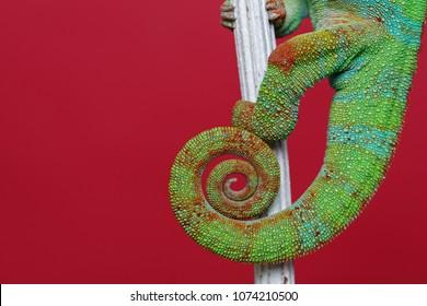 alive chameleon reptile tail