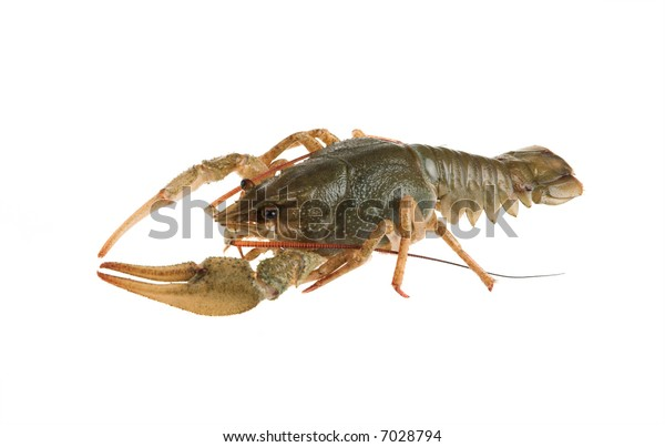 Alive crayfish poses in front of the chamber