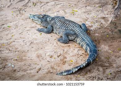 Alive crocodile in crocodile farm Thailand