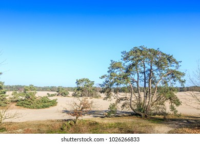 Alive and moving drifting sand dunes of Soesterduinen area in Netherlands with solitaire conifers, Pinus sylvestris, standing on bare tree roots because sand between tree roots is blown away