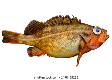 Alive rockfish Sebastes owstoni (Owston sting fish, Redfish) isolated on white background. Alive fresh raw delicious fish.