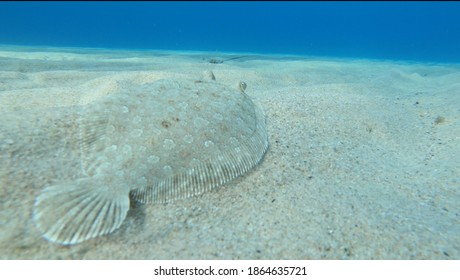 Alive sole fish swimming on a sandy surface underwater in Ikaria