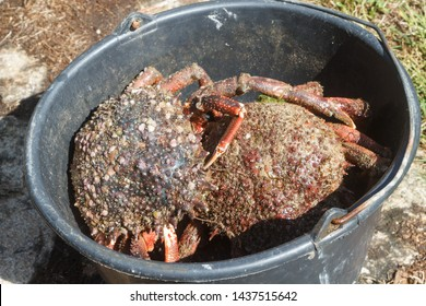 Alive spider crabs in a bucket after fishing in Brittany