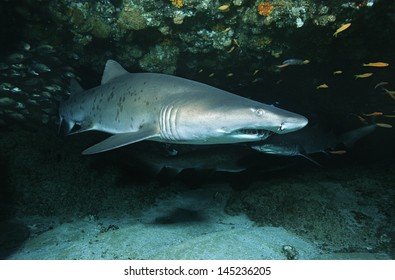 Aliwal Shoal Indian Ocean South Africa Sand tiger shark (Carcharias taurus) in cave
