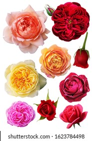 All about English Rose cut colour rose PNG