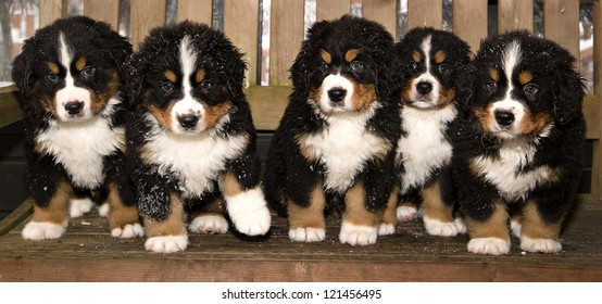 All bernese mountain dog puppets are finaly home