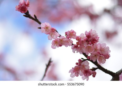 All cherry blossom  branches were  blooming in the national garden in the north part of thailand.