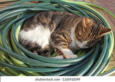 For all downloads of Swampy asleep in his hosepipe basket the Lewknor Blue Cross animal shelter UK will get a donation. Abandoned in Colfiorito, Umbria, Italy. Tabby cat state symbol of Massachusetts