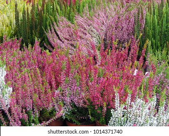 All kinds and colors of blooming heather
