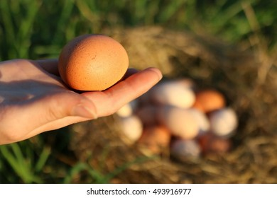 All Natural, Fresh, Healthy Chicken Eggs In Assorted Colors Including Brown, Pink, And  White In Evening Sunlight On A Farm In The Mountains Of South West Virginia