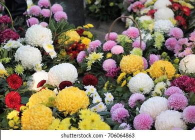 all saint day chrysanthemum