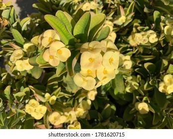 All yellow caribbean flower background, Aruba