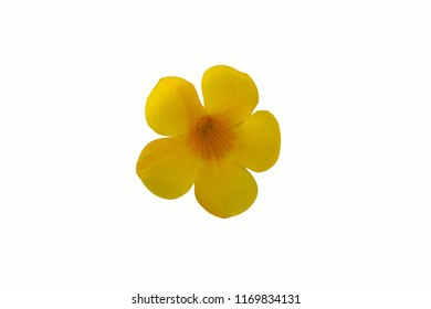 Allamanda cathartica flowers isolated on white background with clipping path.