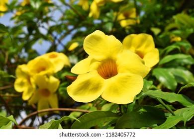 Allamanda, Common allamanda, Golden trumpet, Golden trumpet vine, Yellow bell (Allamanda cathartica L.), ornamental plants, medicinal properties and the plant is poisonous.