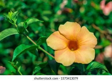 Allamanda, Common allamanda, Golden trumpet, Golden trumpet vine, Yellow bell (Allamanda cathartica L.)