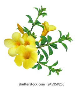 Allamanda Flower ( Yellow bell) isolated on white background