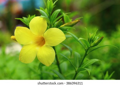 Allamanda Yellow