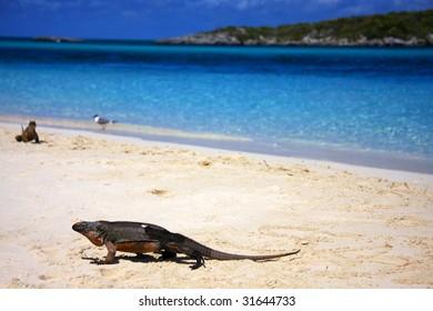 Allan's Cay Iguana - indigenous to Allan's Cay, Bahamas.