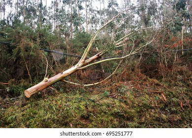 allegory of bad luck, cruel fate,  plucked trees, fallen eucalyptus trees, Catastrophic effects of great storm, explosive cyclogenesis, hurricane, in Galicia, Spain, klaus,visual allegories,