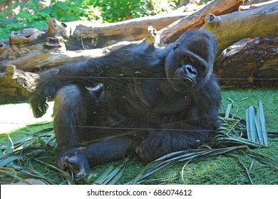 allegory of boredom, Silverback gorilla in zoo, visual allegories, visual metaphors, photographic allegories, photographic metaphors,