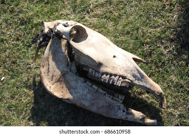 allegory of death, of the end,The skull of the horse on the ground In the Petrified Forest of San Andrés de Teixido, Cedeira, A Coruna, Galicia, Spain,visual allegories, visual metaphors,