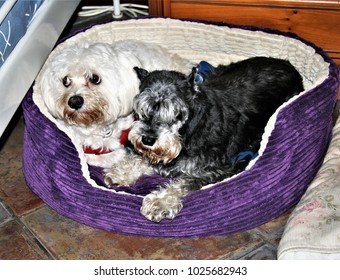 allegory of friendship, visual allegories, visual metaphors, photographic allegories, photographic metaphors,A basket with puppies, a black and silver miniature schnauzer and a Maltese bichon