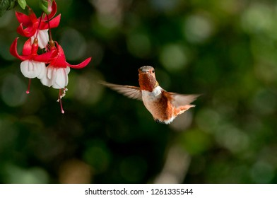 Allen's Hummingbird (Selasphorus sasin) male in garden, Los Angeles, California, USA