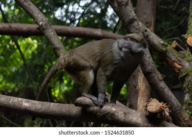 Allen's Swamp Monkey from lowland forests of the central Congolian basinon on a tree.