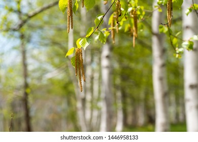 Allergy source Shirakaba pollen.Birch pollinosis.