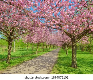 Alley of blossoming cherry trees called Mauer Weg English: Wall Path following the path of former Wall in Berlin, Germany. Bright sunlight with shadows.