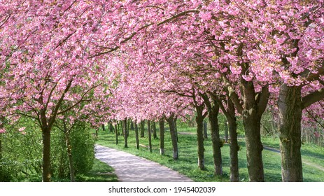 """Alley of blossoming cherry trees called """"Mauer Weg"""" (English: Wall Path) following the path of the former Wall in Berlin, Germany"""