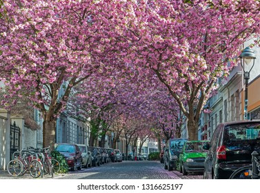 Alley of cherry blossom trees in Bonn; Germany