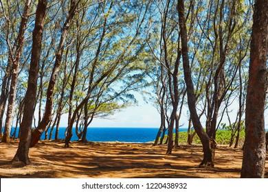 alley of filao, roche qui pleure, gris gri beach, mauritius
