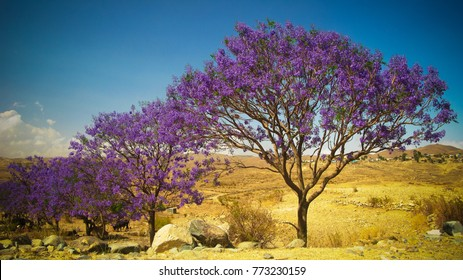 alley of Jacaranda trees at Filfil national park, at Eritrea