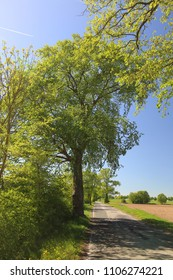 Alley in Mecklenburg-Vorpommern with European white elm (Ulmus laevis).