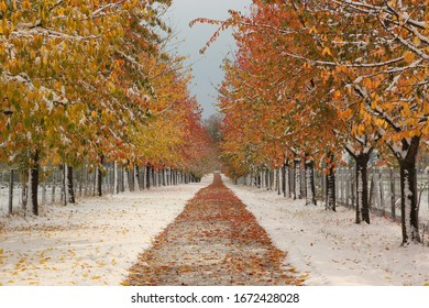 Alley in snow covered road and colourful autumn leaves and trees